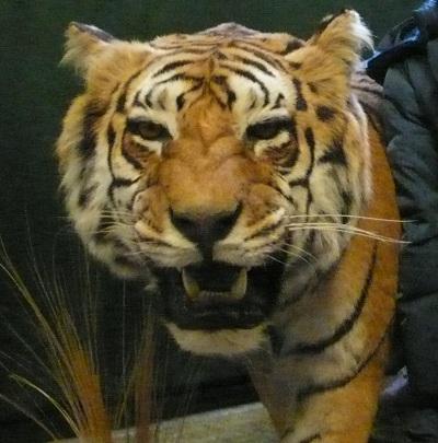 Tigre, museo di scienze naturali di Torino
