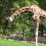 giraffa china