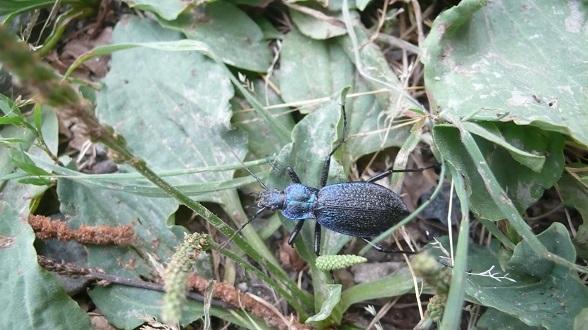 Insetto nero e blu