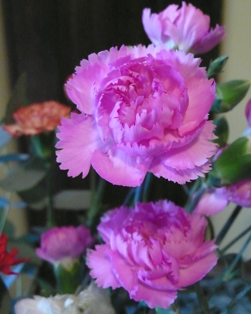 Garofanini rosa