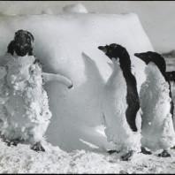 Fratelli pinguini
