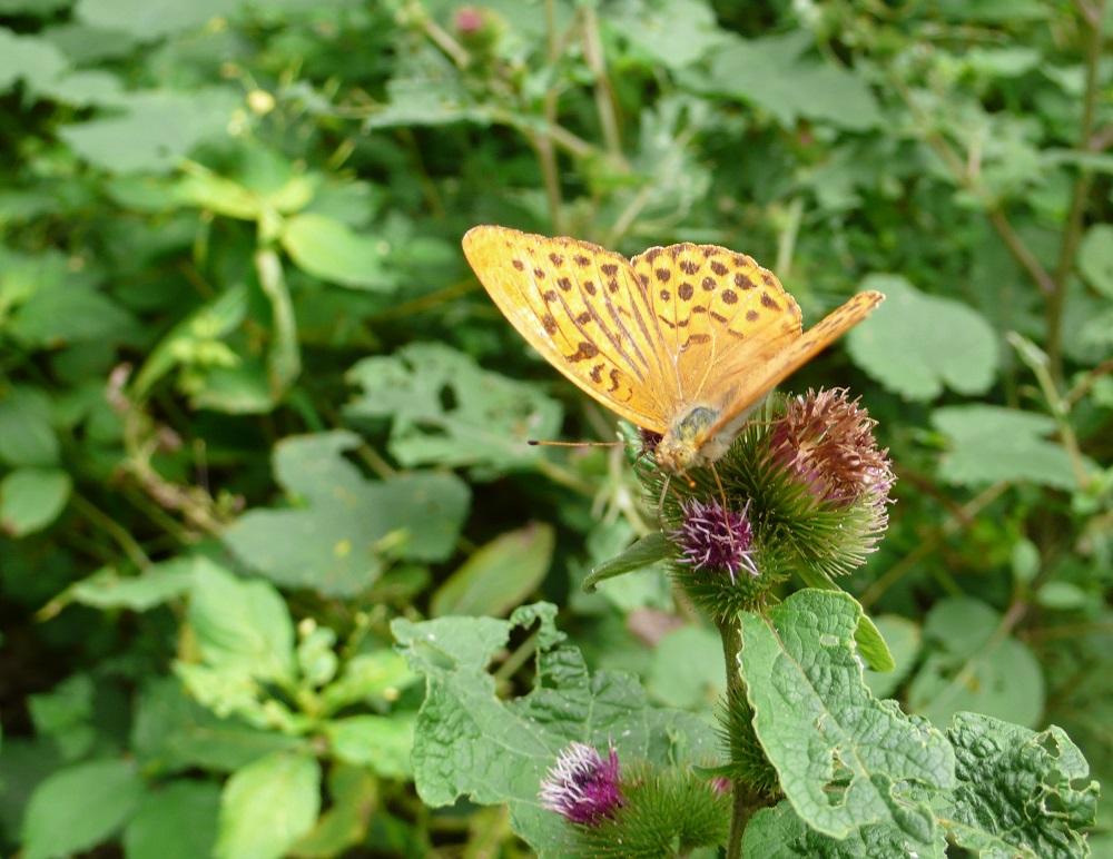 Farfalla su bardana