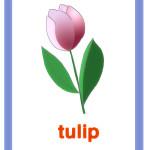 Carta tulipano - tulip